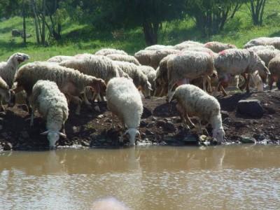 כבשים שותות מים